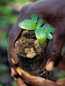 Haiti tree seedling