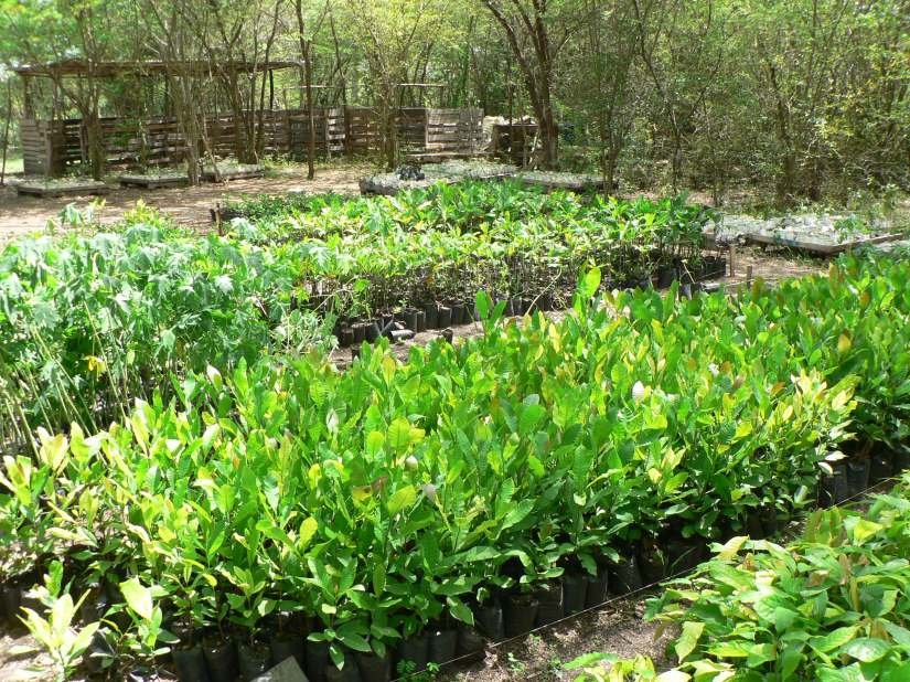 Northern Haiti Tree Nursery Producing Thousands of Fruit Trees!