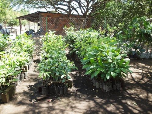 Nicaragua tree nursery