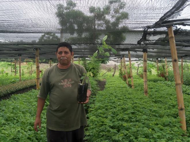 Dn Jorge Ochoa muestra arbolito de Madrecacao de la actual producción en vivero El Porvenir