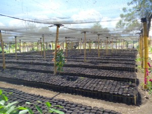 tree nursery el salvador