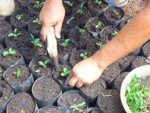 Resiembra de plantulas de Limón en nuevo Vivero Marzo 2014