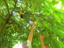 Selección de pochotas en el árbol de Cacao, Agosto 2024