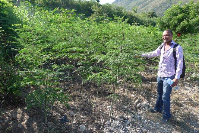Haiti Moringa trees