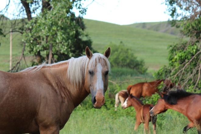Horses Pine Ridge Reservation