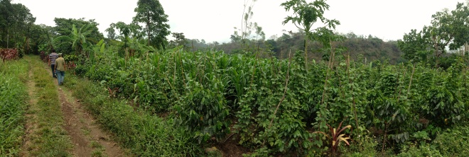 Companion planting of corn, coffee and bananas in Quixayá.