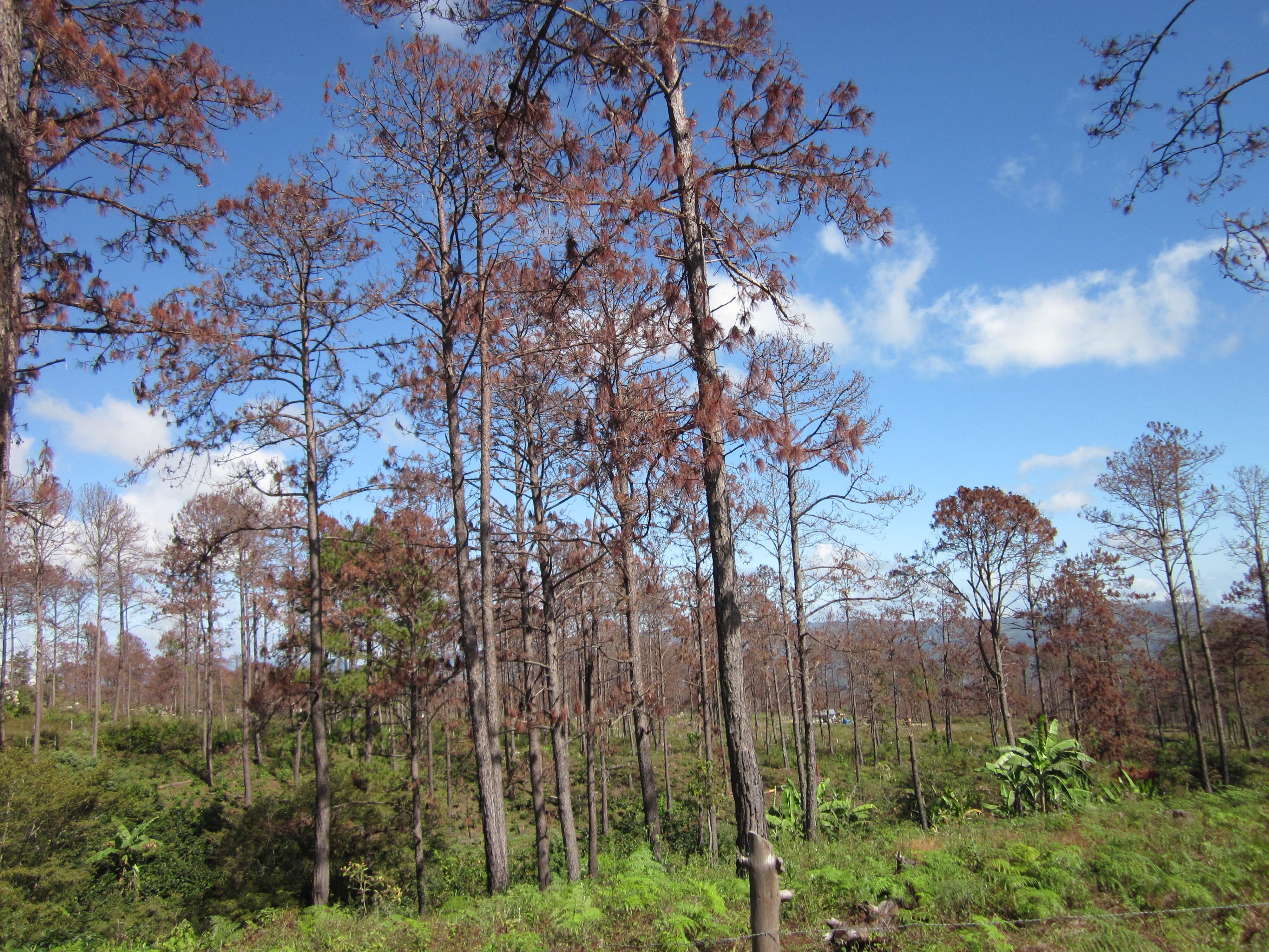 Honduras Beetle-killed Trees