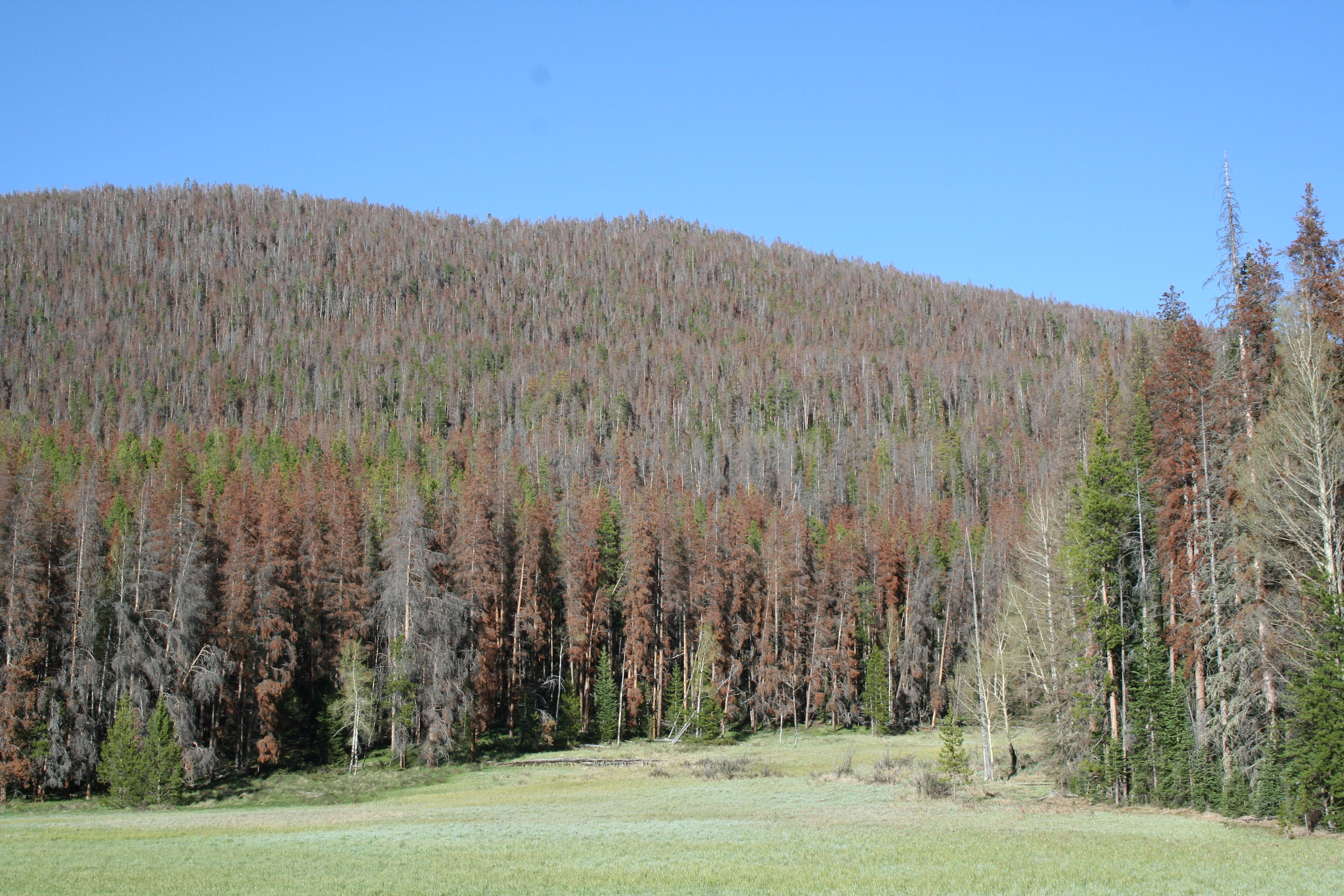 Mountain Pine Beetle in Rocky Mountain National Park