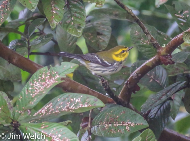 A Black-throated Green Warbler in coffee plants in Honduras
